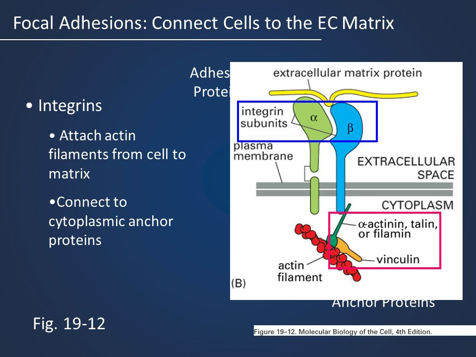 Focal Adhesions: Connect Cells to the EC Matrix