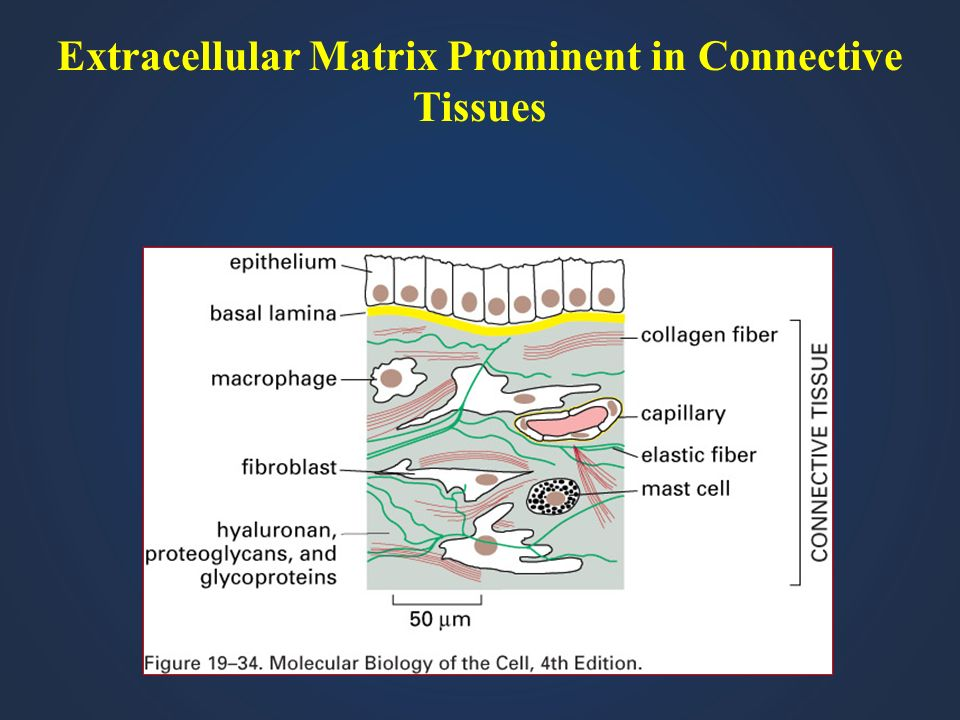 Extracellular Matrix Prominent in Connective Tissues