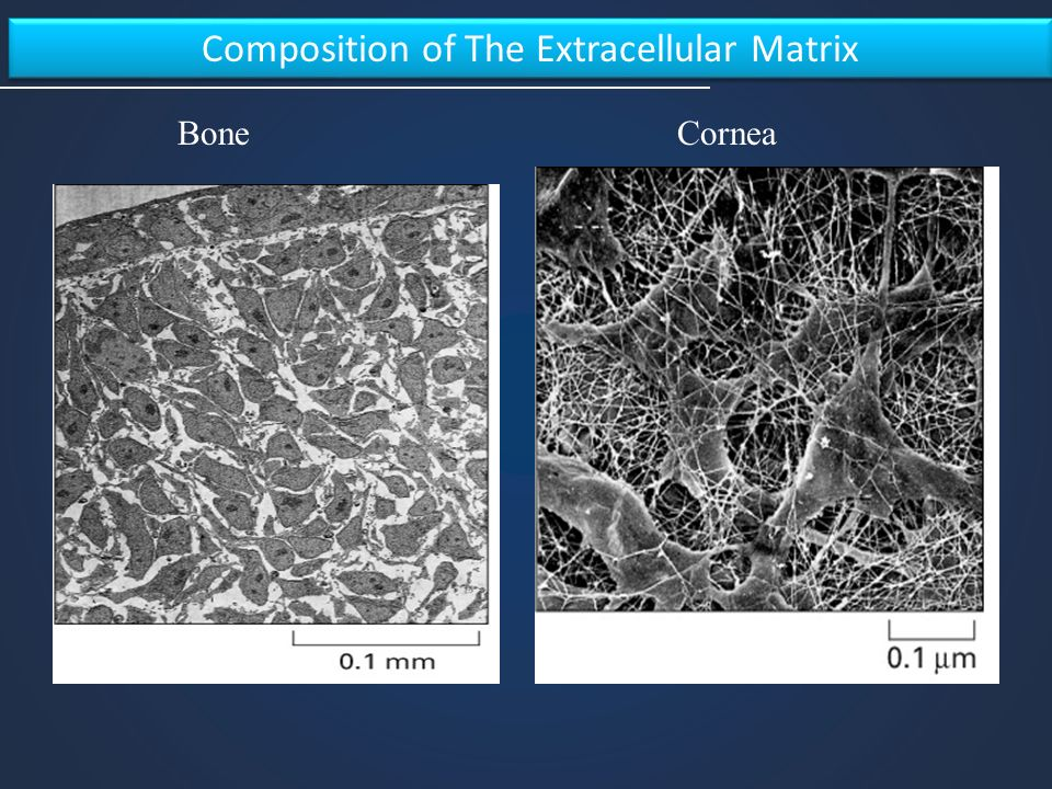 Composition of The Extracellular Matrix