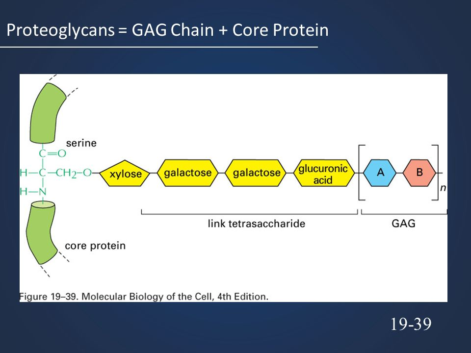 Proteoglycans = GAG Chain + Core Protein