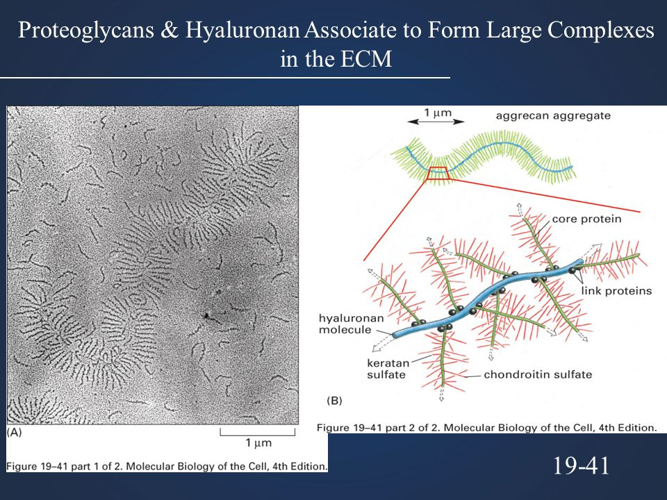 Proteoglycans & Hyaluronan Associate to Form Large Complexes in the ECM