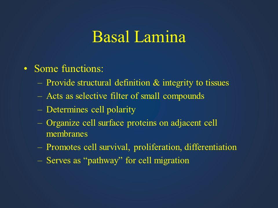 Basal Lamina Some functions:
