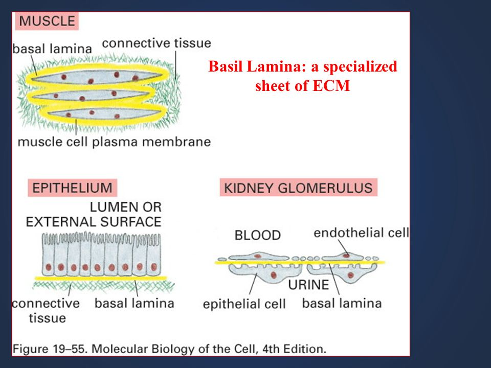Basil Lamina: a specialized sheet of ECM
