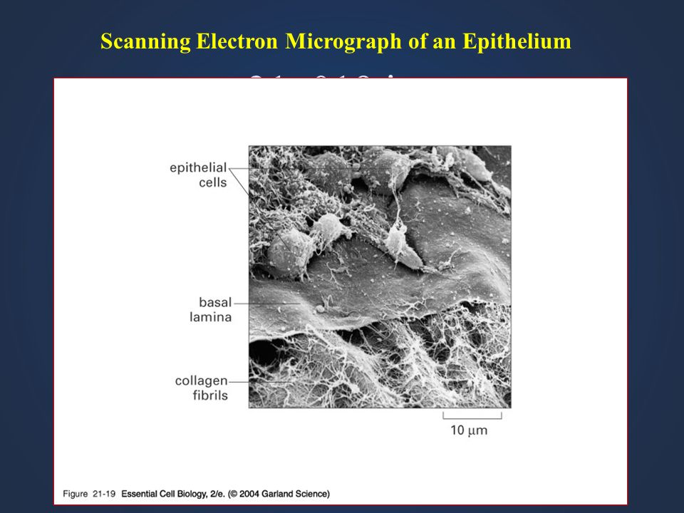 Scanning Electron Micrograph of an Epithelium