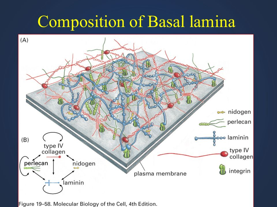 Composition of Basal lamina
