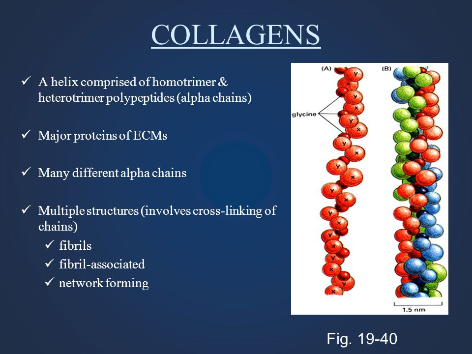 COLLAGENS A helix comprised of homotrimer & heterotrimer polypeptides (alpha chains) Major proteins of ECMs.
