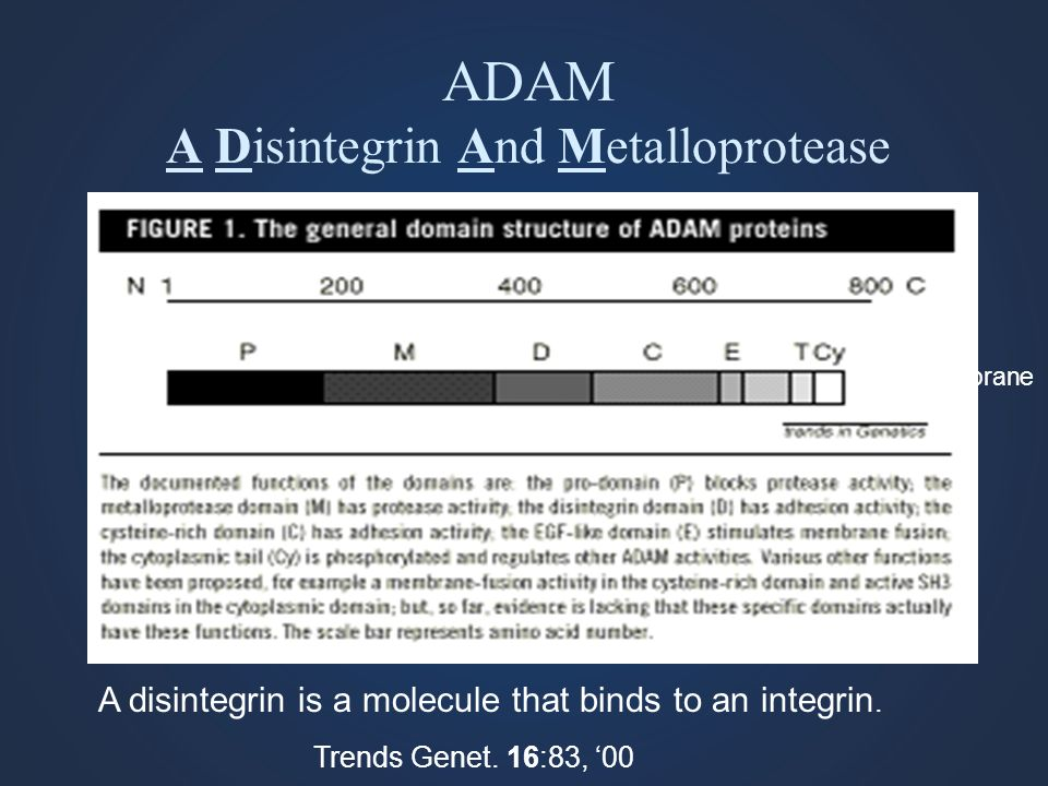 ADAM A Disintegrin And Metalloprotease