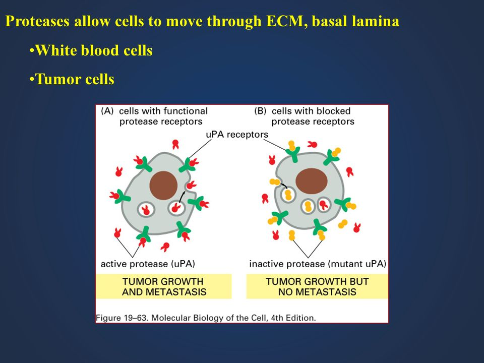 Proteases allow cells to move through ECM, basal lamina