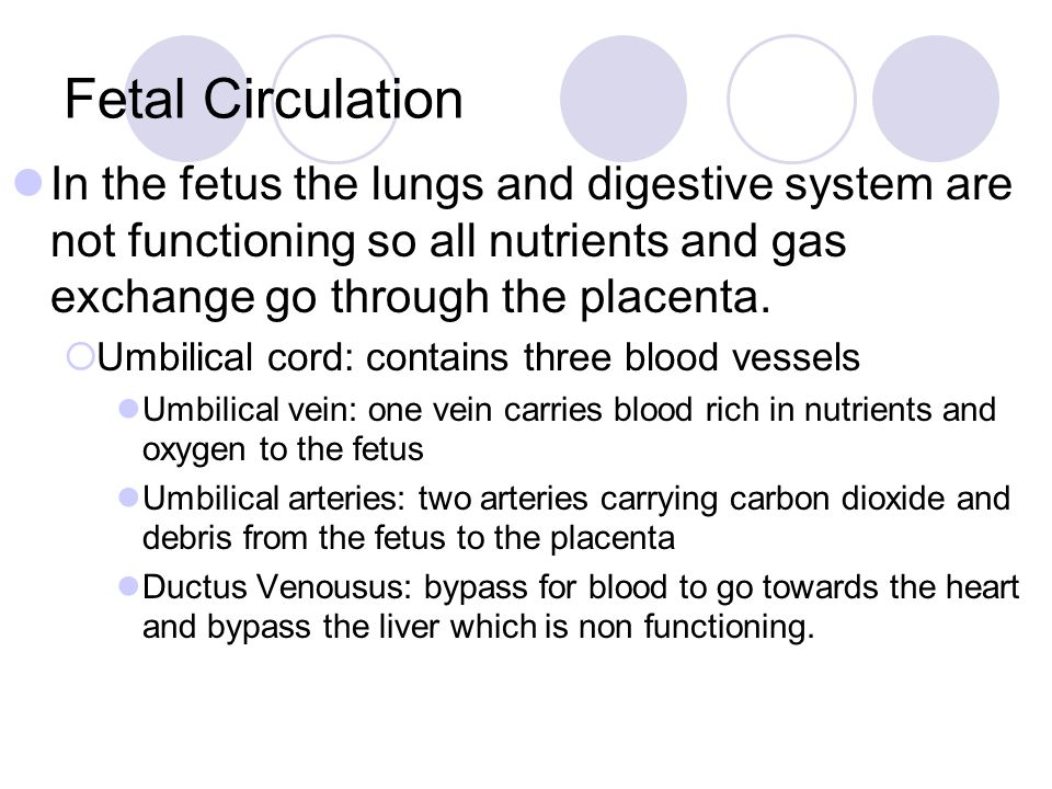Fetal Circulation In the fetus the lungs and digestive system are not functioning so all nutrients and gas exchange go through the placenta.