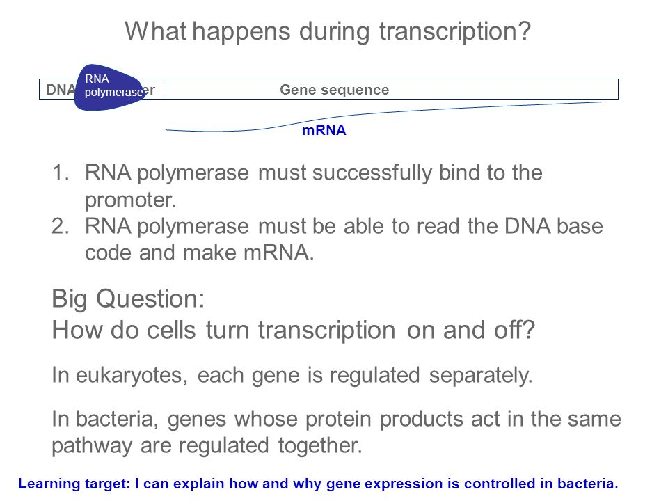 What happens during transcription