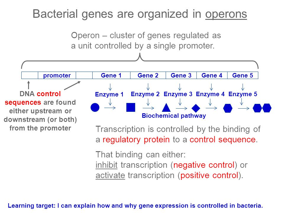 Bacterial genes are organized in operons