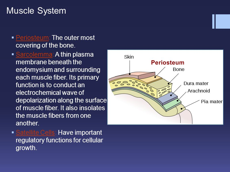 Muscle System Periosteum: The outer most covering of the bone.