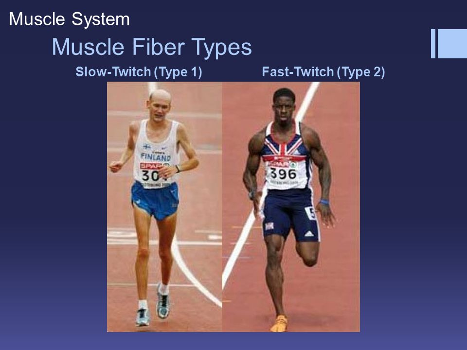 Muscle Fiber Types Muscle System Slow-Twitch (Type 1)