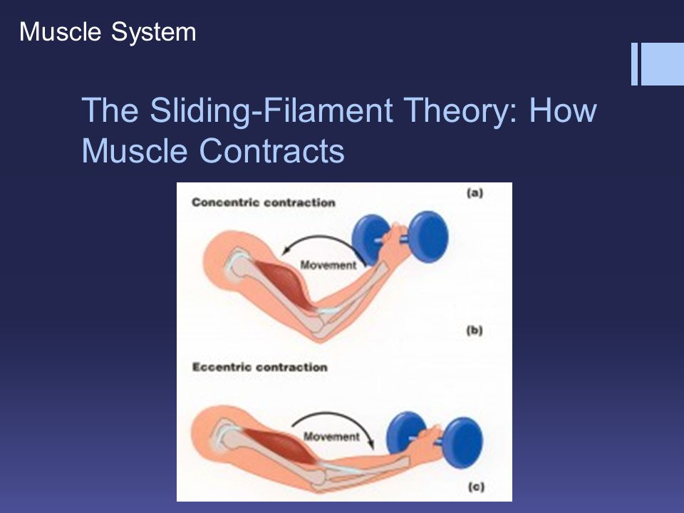 The Sliding-Filament Theory: How Muscle Contracts