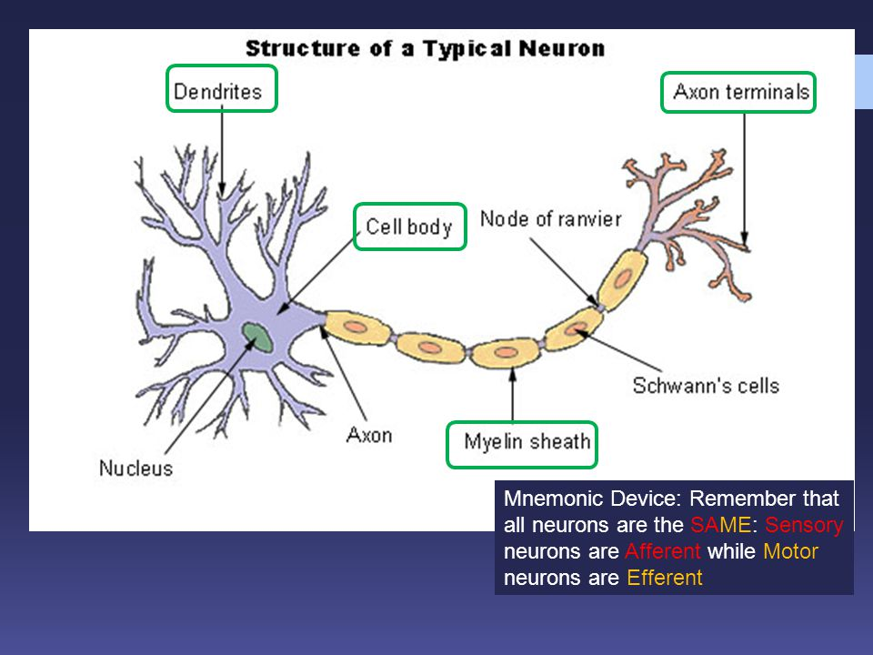 Mnemonic Device: Remember that all neurons are the SAME: Sensory neurons are Afferent while Motor neurons are Efferent