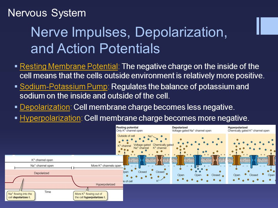 Nerve Impulses, Depolarization, and Action Potentials
