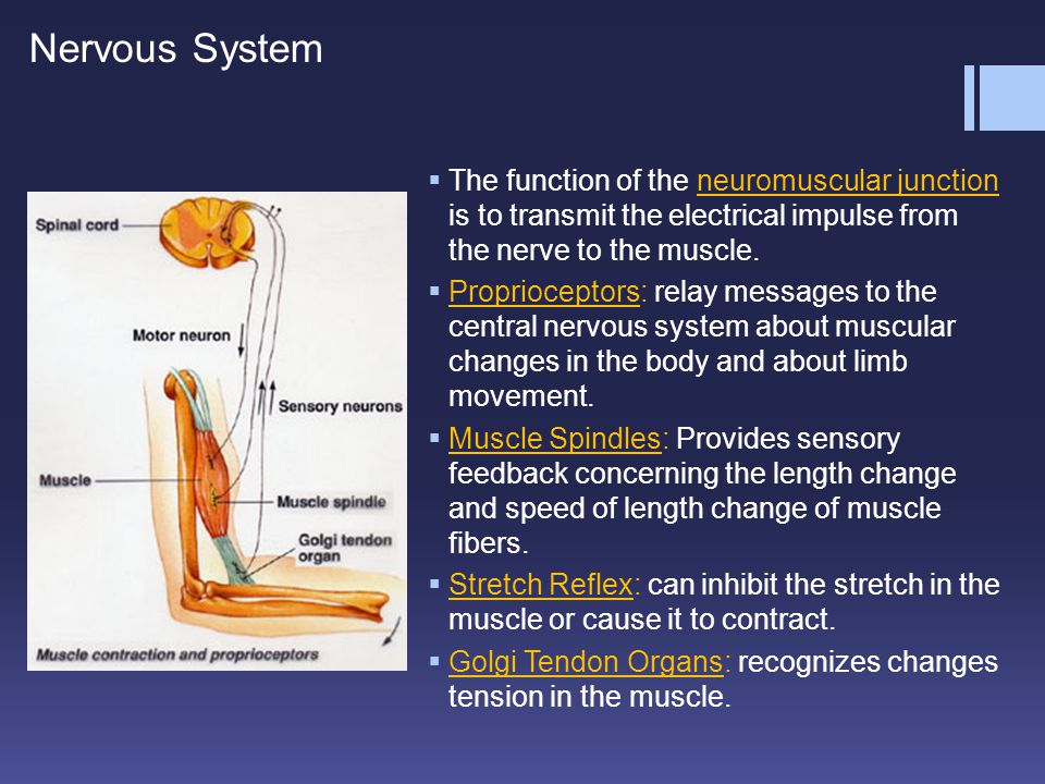 Nervous System The function of the neuromuscular junction is to transmit the electrical impulse from the nerve to the muscle.