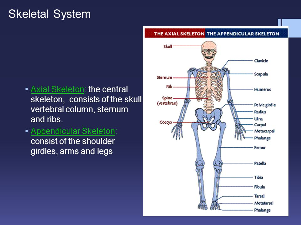 Skeletal System Axial Skeleton: the central skeleton, consists of the skull vertebral column, sternum and ribs.