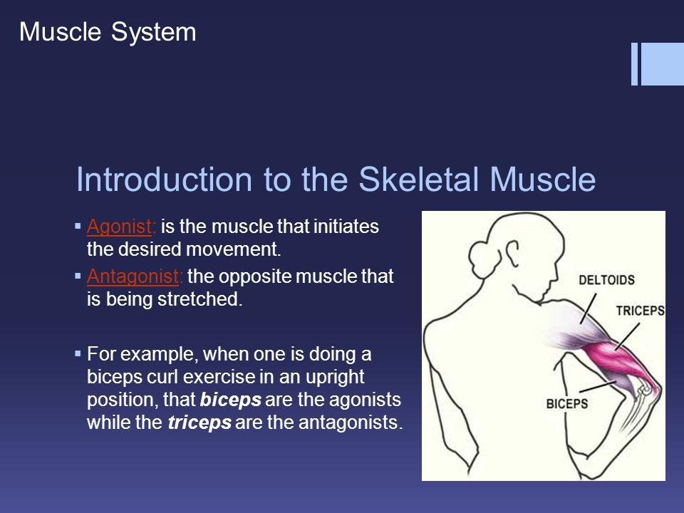 Introduction to the Skeletal Muscle