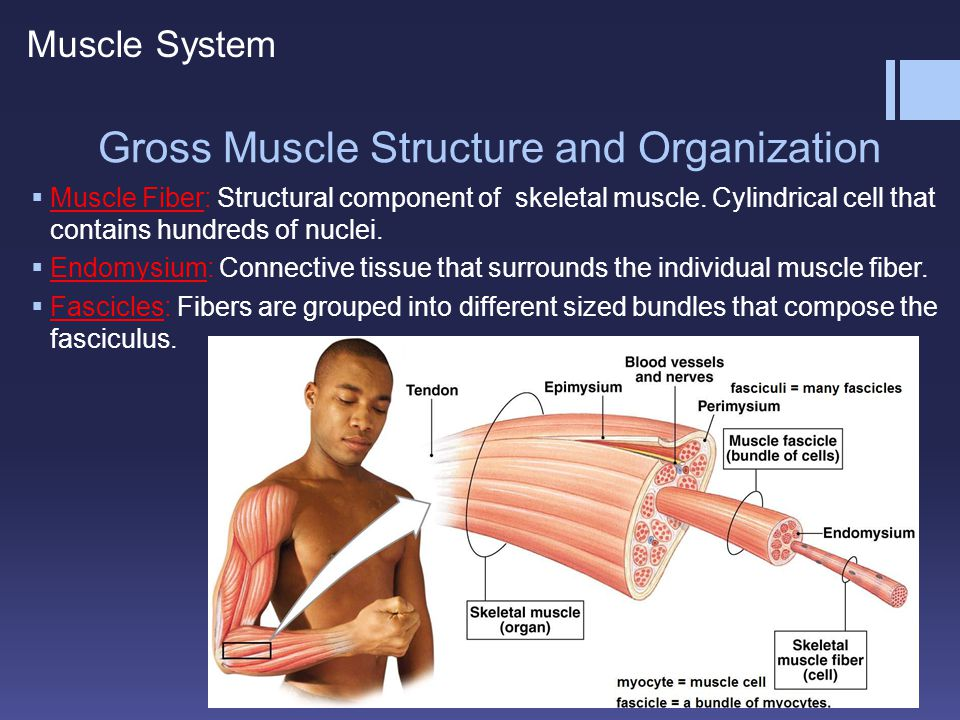 Gross Muscle Structure and Organization