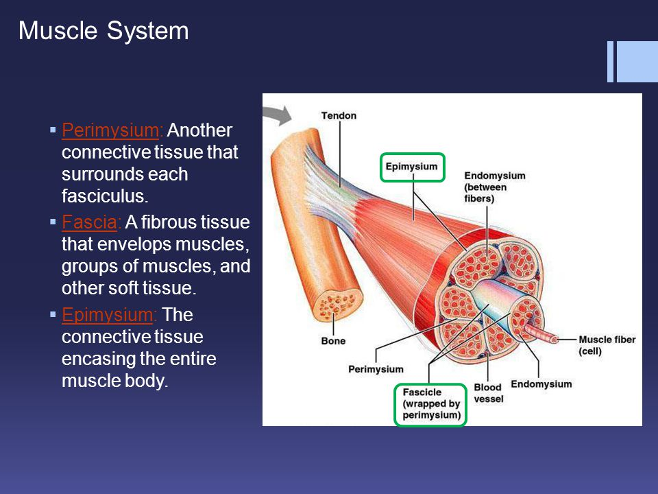Muscle System Perimysium: Another connective tissue that surrounds each fasciculus.