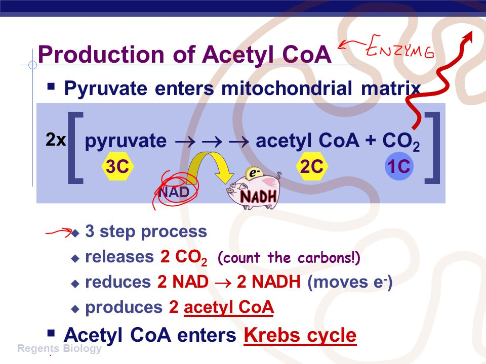 Production of Acetyl CoA