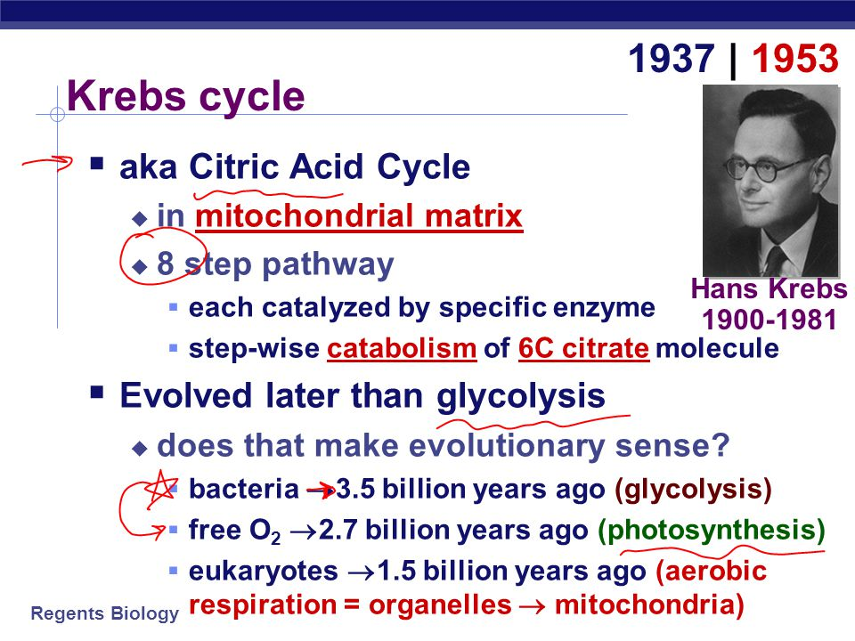 Krebs cycle 1937 | 1953 aka Citric Acid Cycle