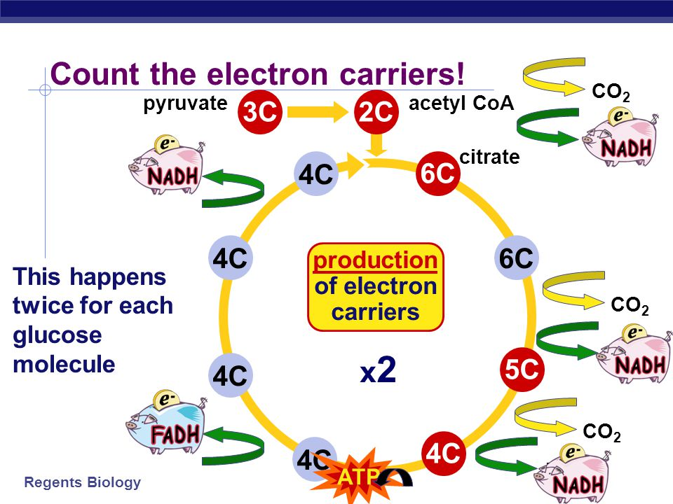 production of electron carriers