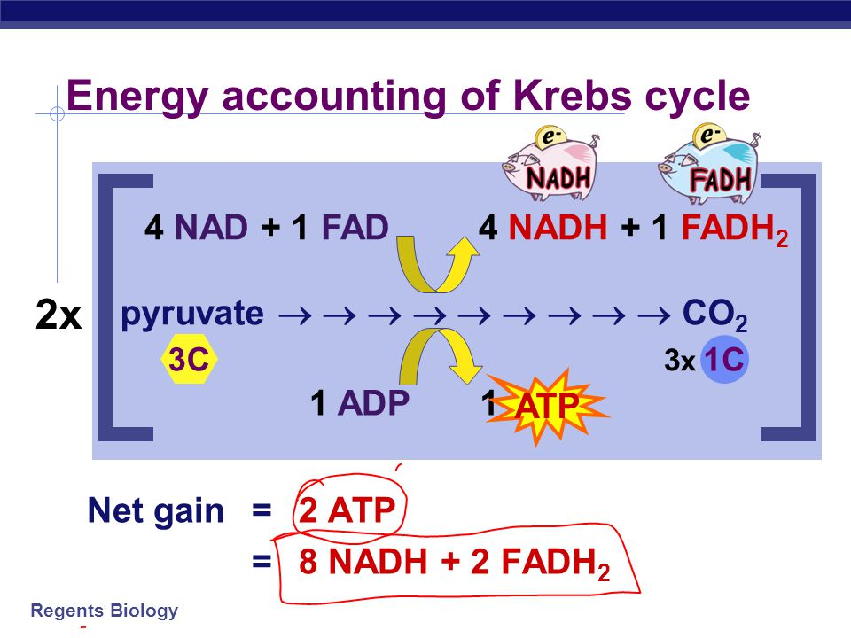 Energy accounting of Krebs cycle