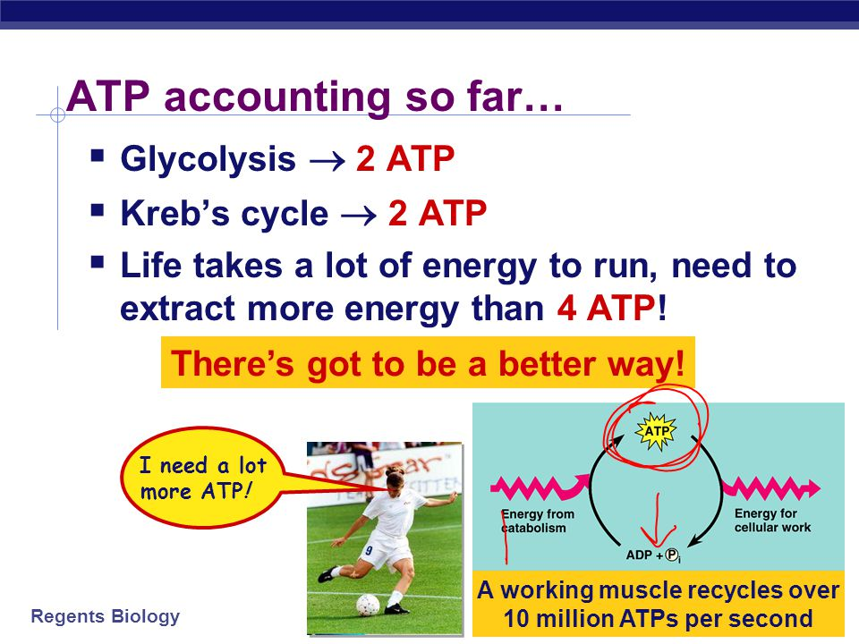 ATP accounting so far… Glycolysis  2 ATP Kreb's cycle  2 ATP