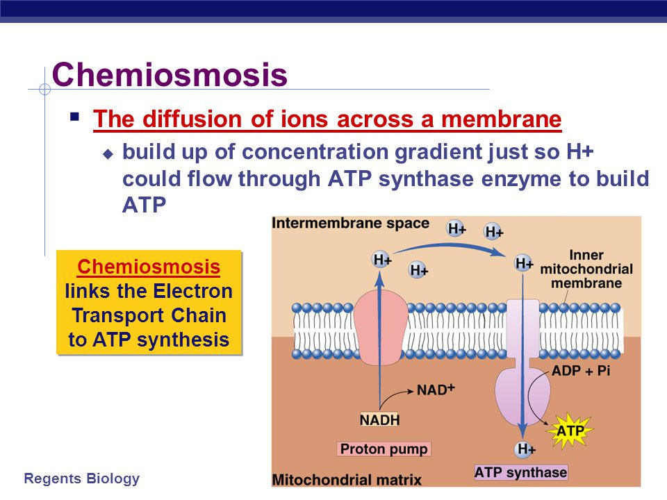 Chemiosmosis links the Electron Transport Chain to ATP synthesis