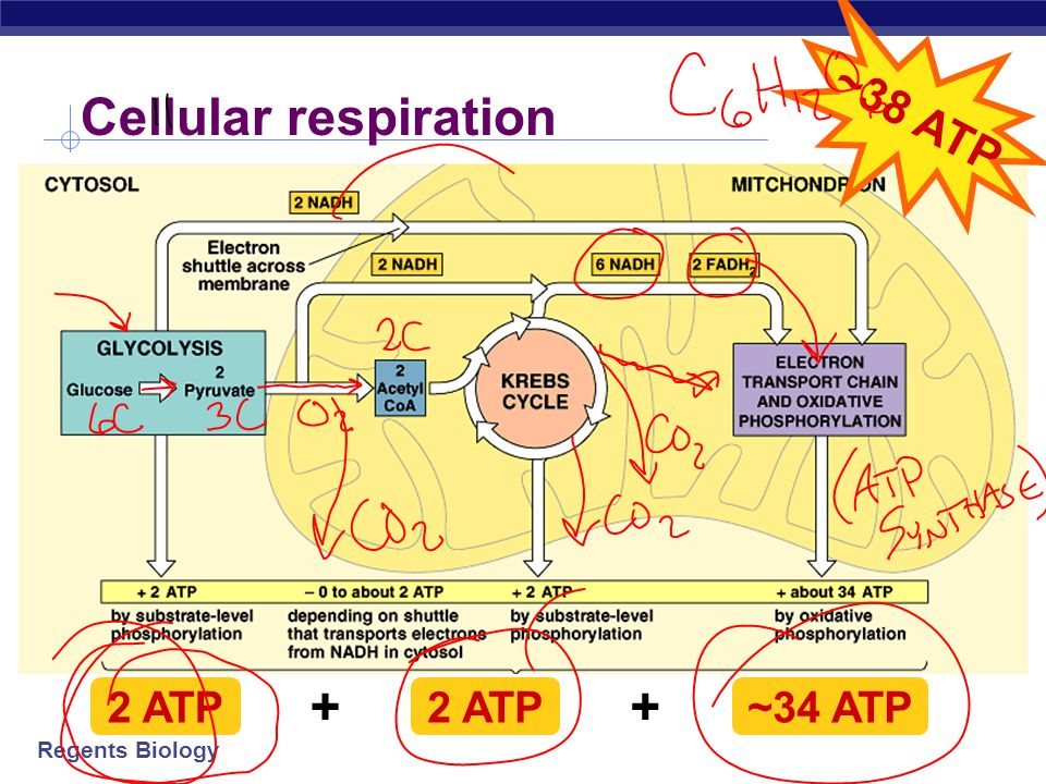 Does cellular respiration occur during photosynthesis