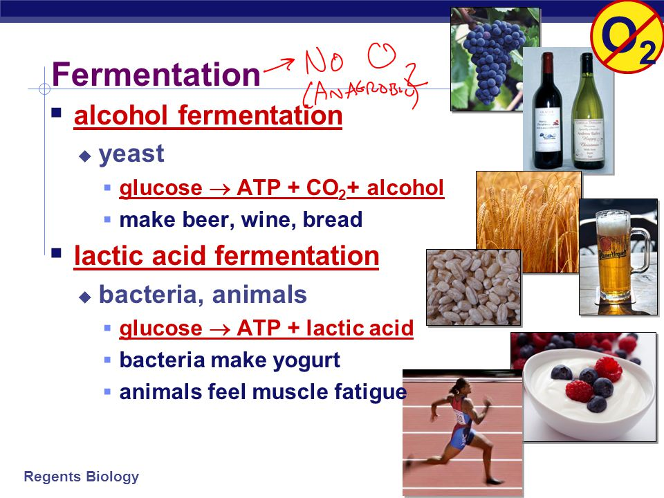 O2 Fermentation alcohol fermentation lactic acid fermentation yeast