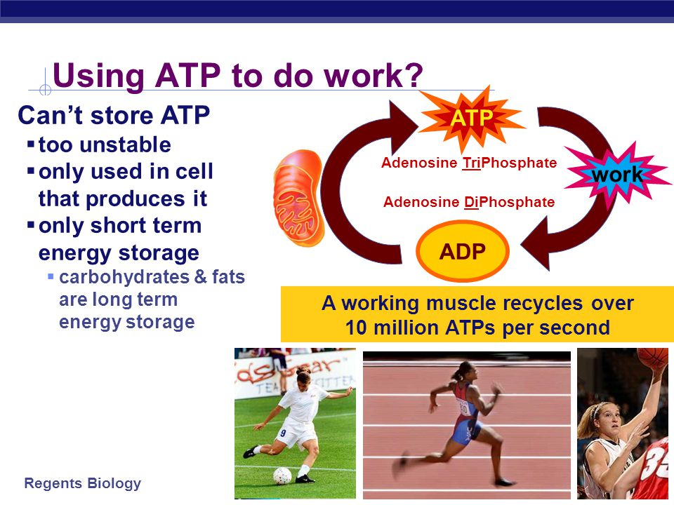 Using ATP to do work Can't store ATP ATP too unstable