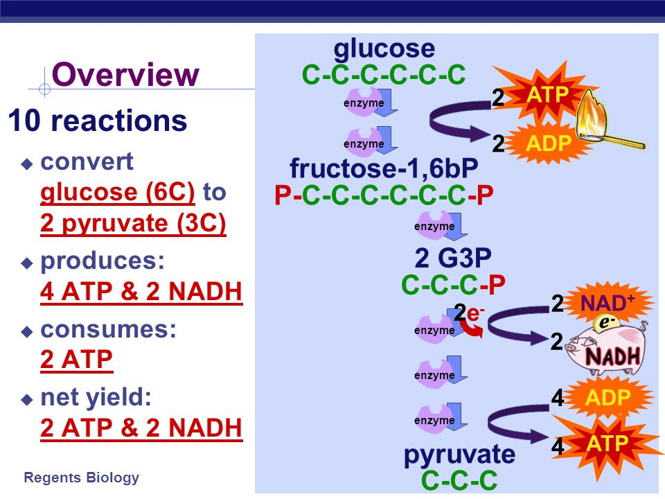 Overview 10 reactions glucose C-C-C-C-C-C fructose-1,6bP
