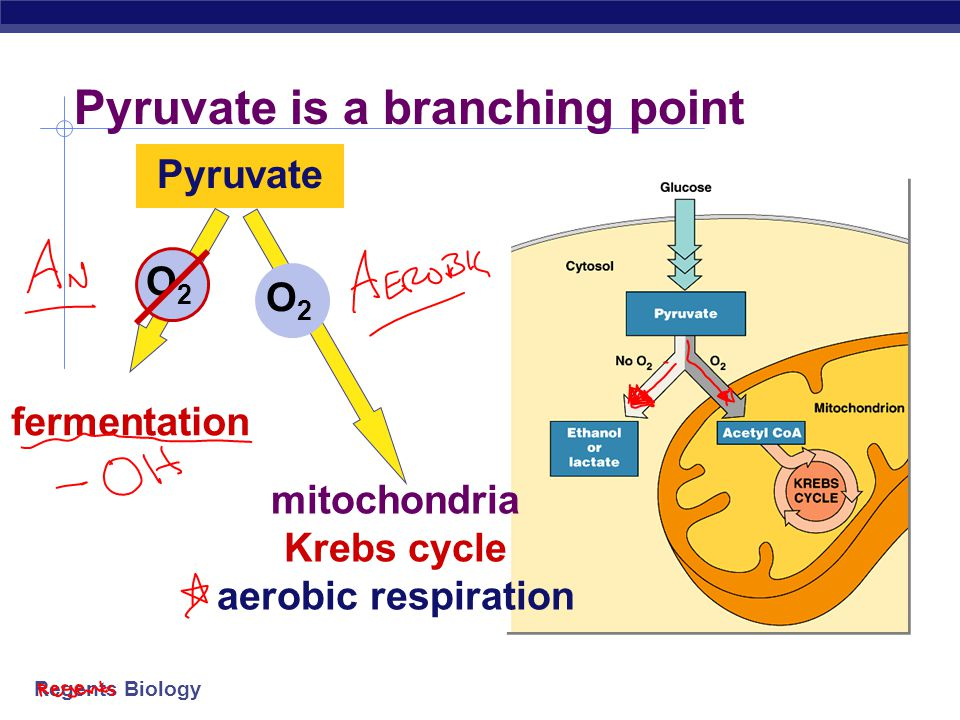 Pyruvate is a branching point