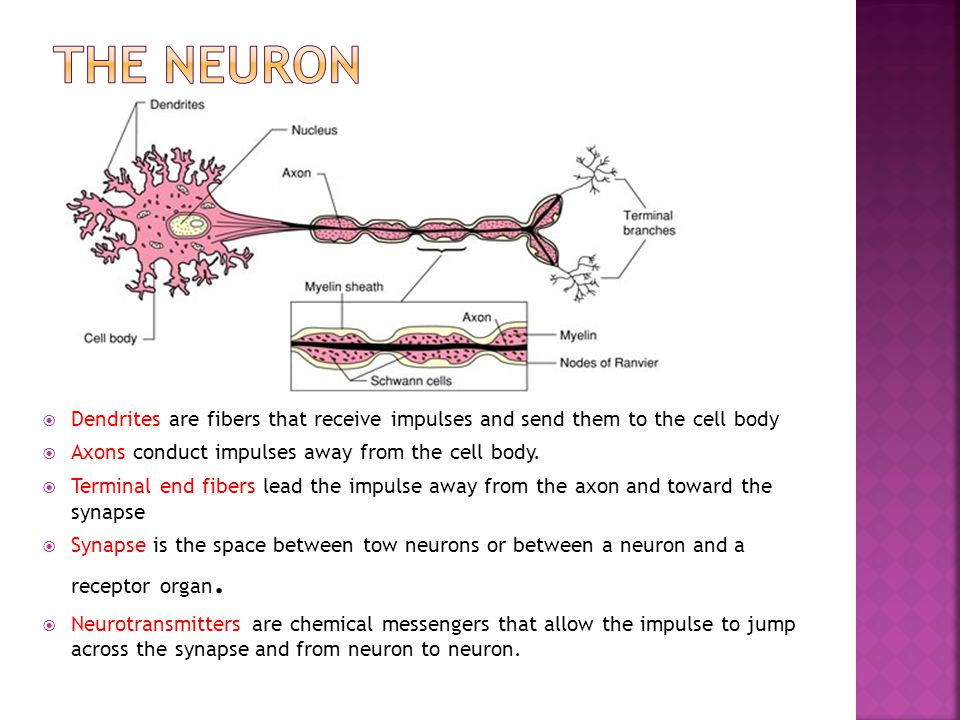 The neuron Dendrites are fibers that receive impulses and send them to the cell body. Axons conduct impulses away from the cell body.