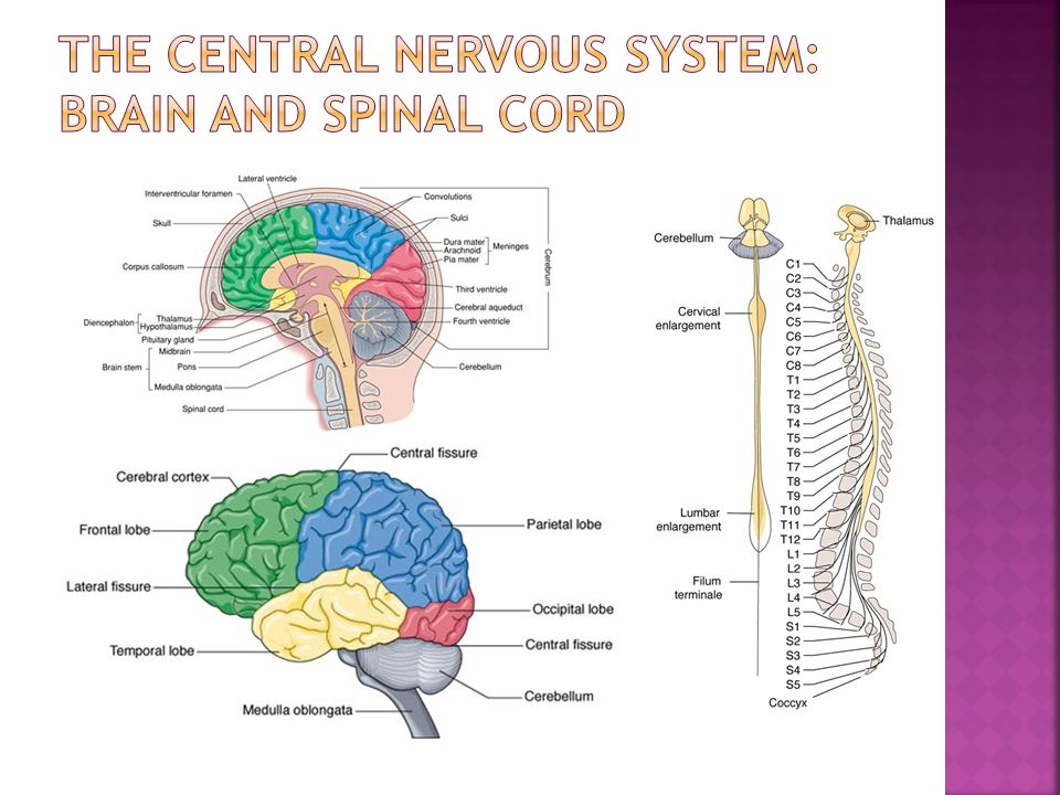 The central nervous system: Brain and spinal cord