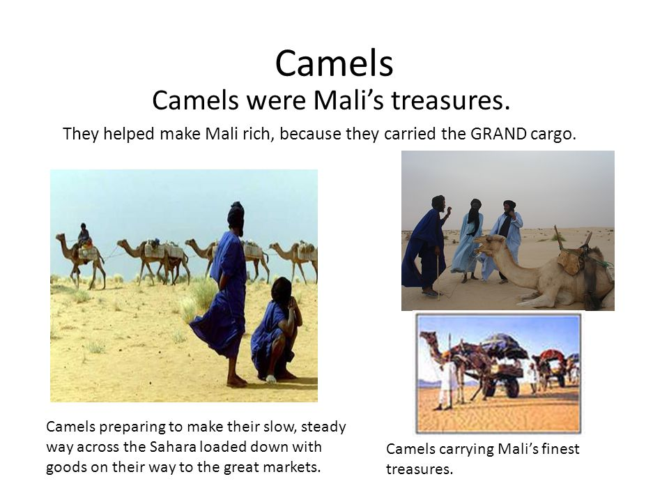 Camels Camels were Mali's treasures.