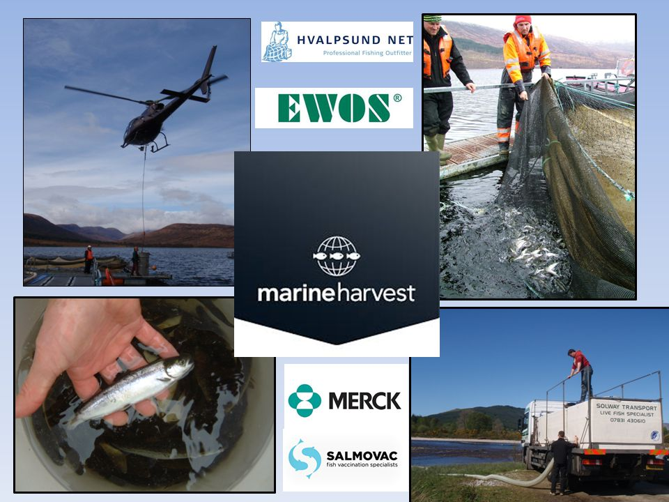 Set up smolt stocking project in partnership with MH, with assistance from a wide range of other aquaculture partners.