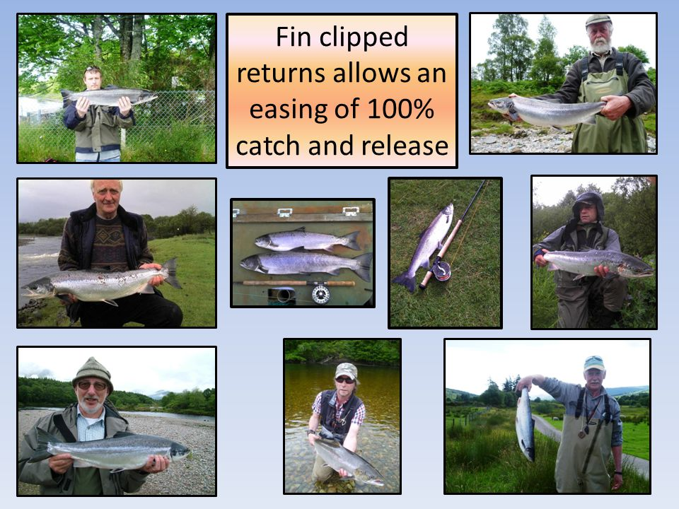 Fin clipped returns allows an easing of 100% catch and release