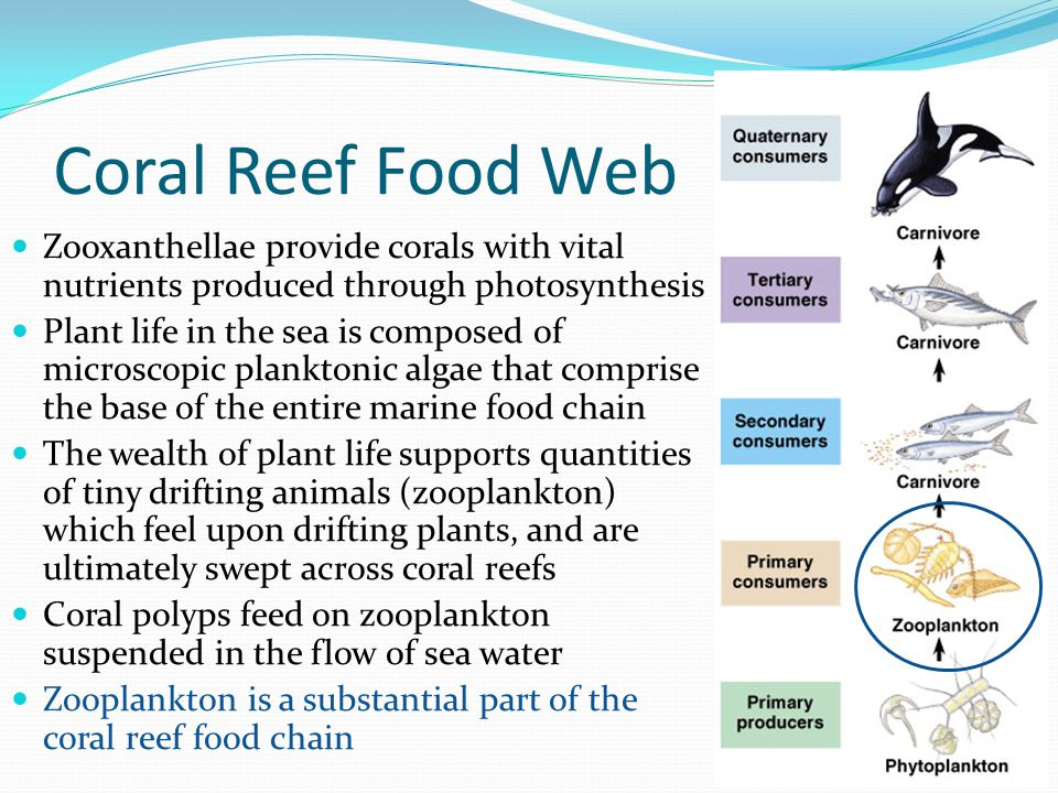 Coral Reef Food Web Zooxanthellae provide corals with vital nutrients produced through photosynthesis.