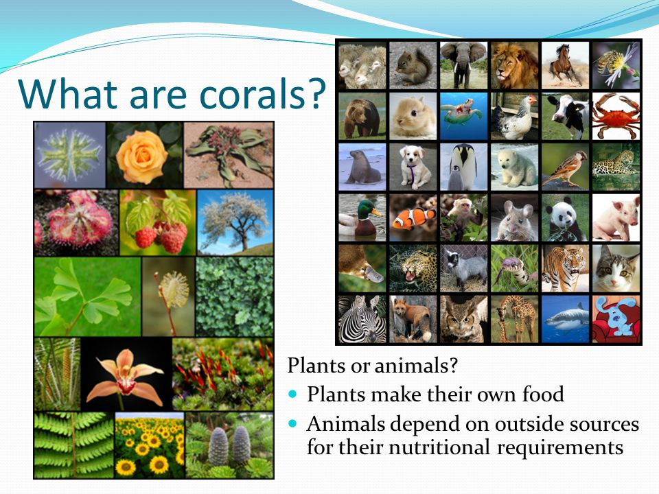 What are corals Plants or animals Plants make their own food