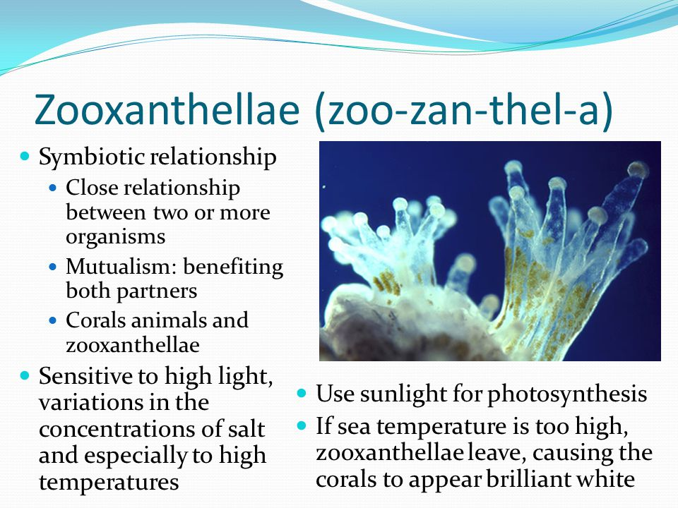 Zooxanthellae (zoo-zan-thel-a)