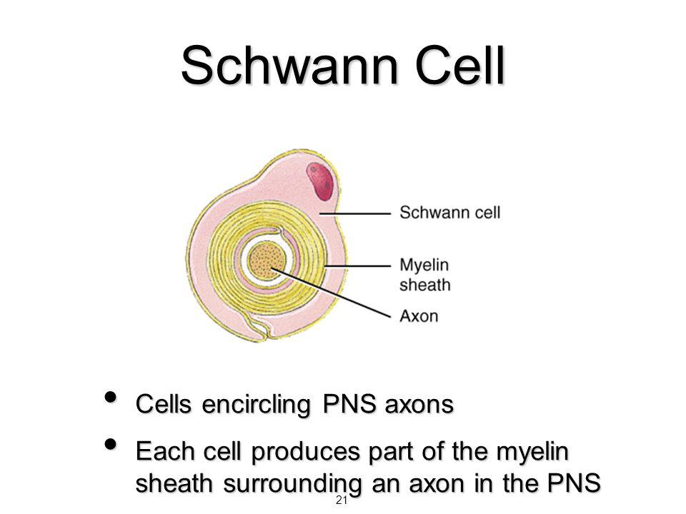 Schwann Cell Cells encircling PNS axons