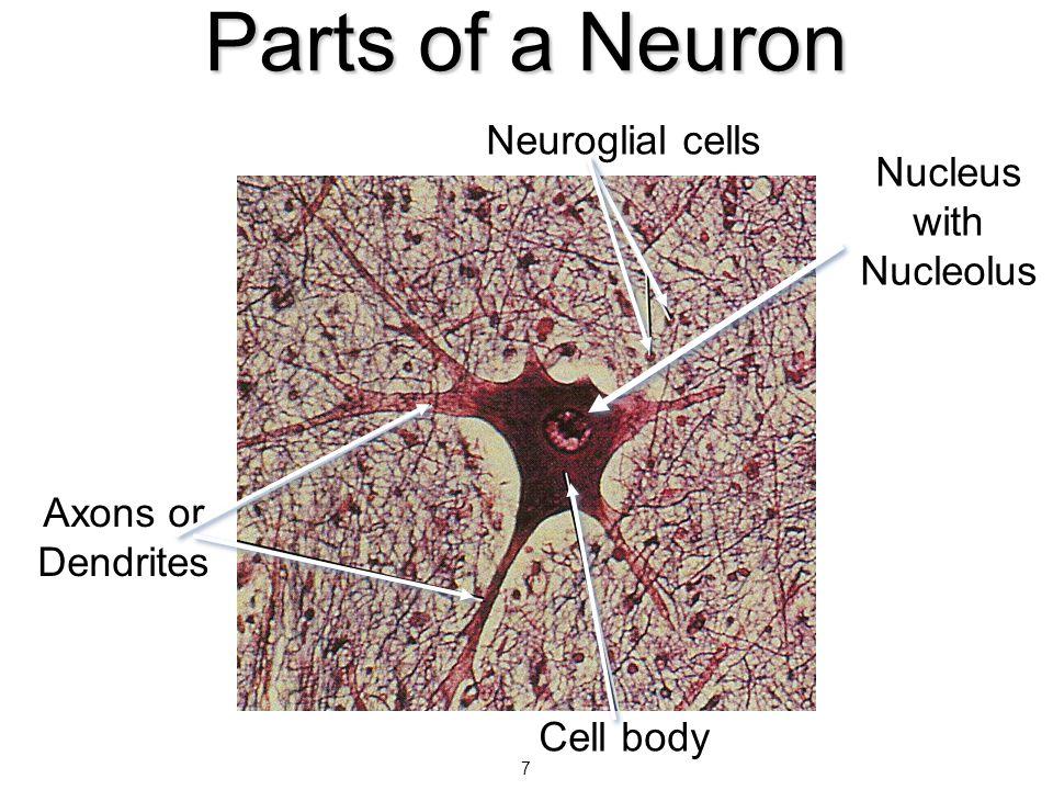 Nucleus with Nucleolus