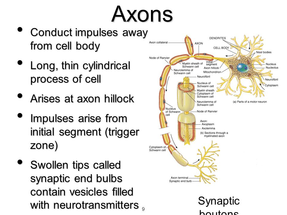 Axons Conduct impulses away from cell body