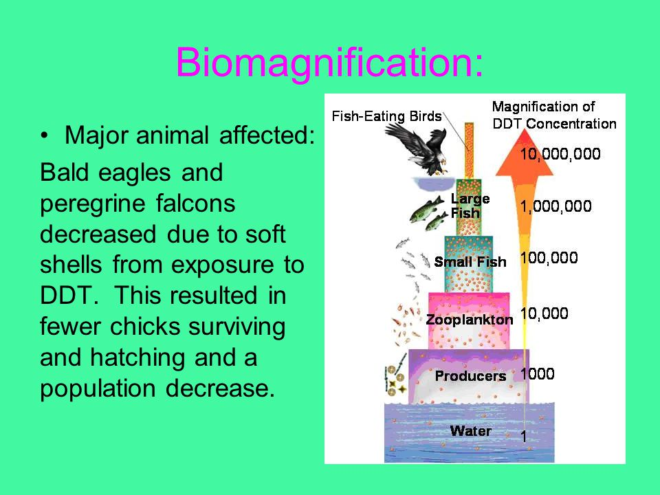 Biomagnification: Major animal affected: