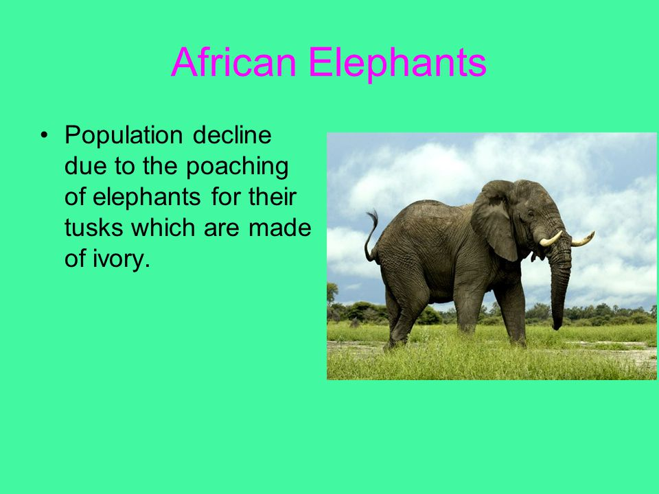 African Elephants Population decline due to the poaching of elephants for their tusks which are made of ivory.
