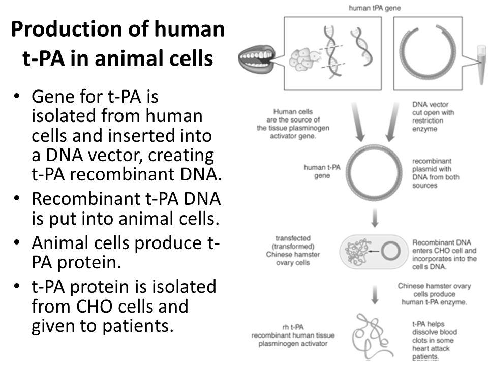 Production of human t-PA in animal cells